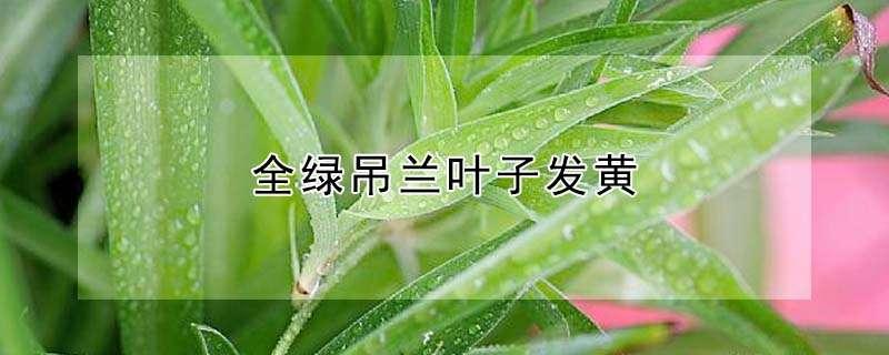 全绿吊兰叶子发黄