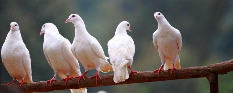 鸽子养多久才不怕飞走