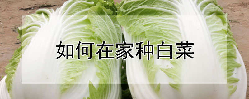 如何在家种白菜