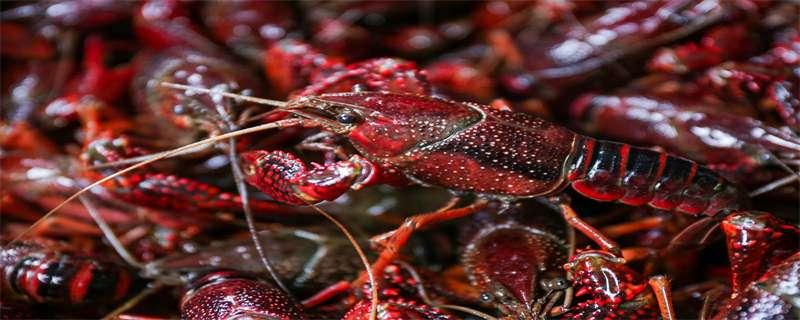小龙虾的养殖技术