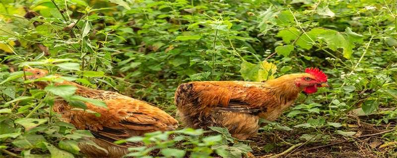 斗鸡养殖技术