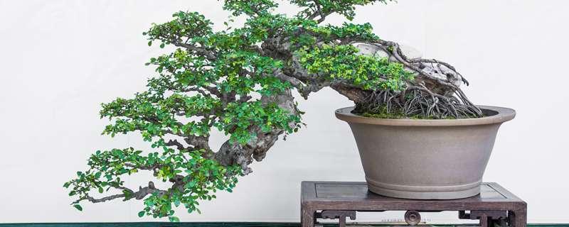 榆树盆景怎么养