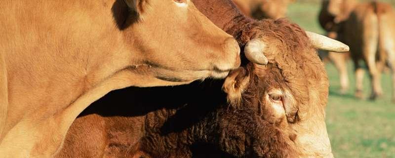 耕牛的特点是什么